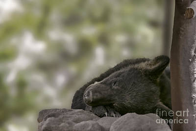 Photograph - Black Bear Cub Sleeping        by Dan Friend