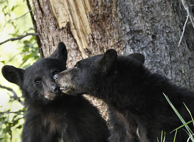 Photograph - Black Bear Cubs Kissing by Dan Sproul