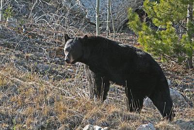 Black Bear Art Print by Dave Clark
