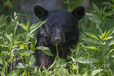 Photograph - Black Bear Eating A Plant by Dan Friend