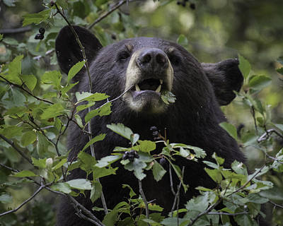 Photograph - Black Bear Eating Berries by Elizabeth Eldridge