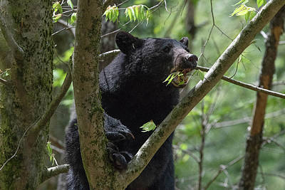 Photograph - Black Bear Eating In Leave In A Tree by Dan Friend