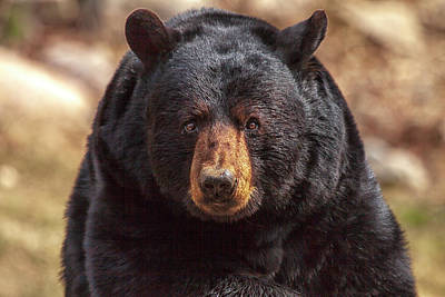Photograph - Black Bear by Eunice Gibb