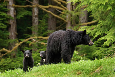 Photograph - Black Bear Family by Inge Riis McDonald