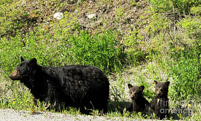 Photograph - Black Bear Family by Louise Magno