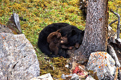 Photograph - Black Bear Family Nap by Adam Jewell