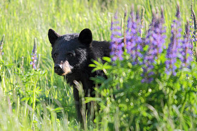 Photograph - Black Bear Hiding Behind Lupines by Pierre Leclerc Photography