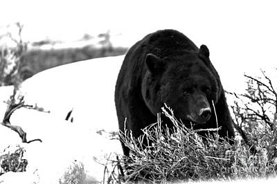 Photograph - Black Bear Hungry After Hibernation Black And White by Adam Jewell
