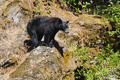 Photograph - Black Bear I by Ansel Price