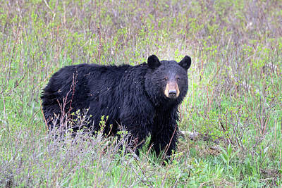 Photograph - Black Bear by Jack Bell