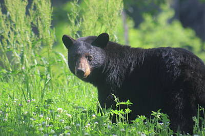 Photograph - Black Bear by John Burk