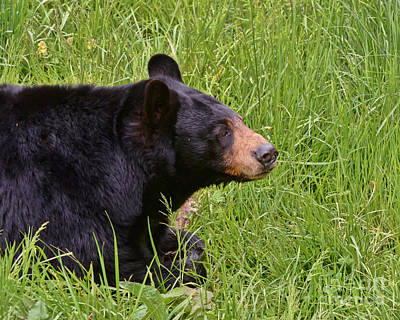 Photograph - Black Bear by Kerri Farley