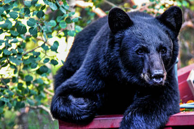 Photograph - Black Bear - Lazy Days by Marilyn Burton