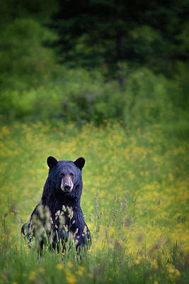 Photograph - Black Bear Lookin At Me by Darylann Leonard Photography