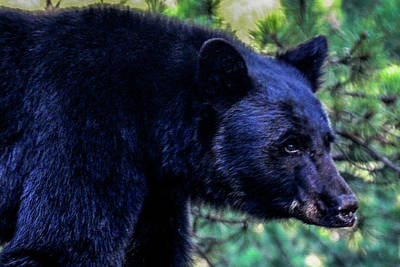 Photograph - Black Bear by Marilyn Burton