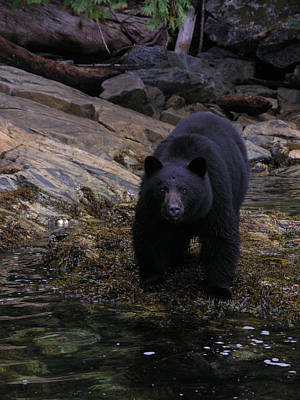 Photograph - Black Bear by Nootka Sound