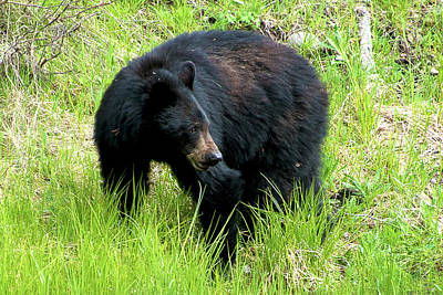 Photograph - Black Bear by Norman Hall