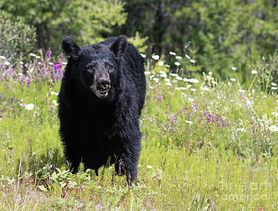 Photograph - Black Bear On Hillside by Art Cole