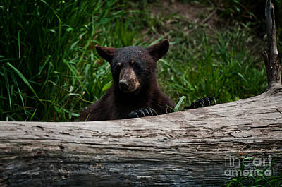 Black Bear Pictures 100 Original by World Wildlife Photography
