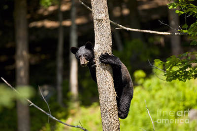 Black Bear Pictures 36 Original by World Wildlife Photography