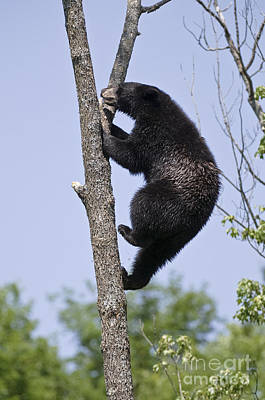 Black Bear Pictures 44 Original by World Wildlife Photography