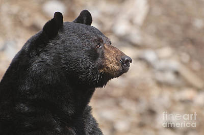 Black Bear Pictures 63 Original by World Wildlife Photography