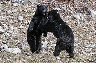 Black Bear Pictures 66 Original by World Wildlife Photography