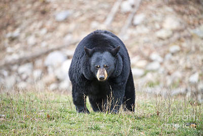 Black Bear Pictures 75 Original by World Wildlife Photography