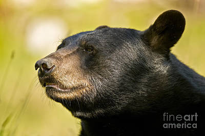 Black Bear Pictures 8 Original by World Wildlife Photography