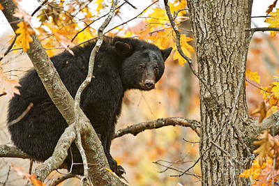 Black Bear Pictures 89 Original by World Wildlife Photography