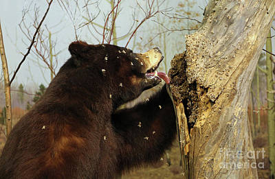 Photograph - Black Bear Raiding A Honeycomb by Kevin McCarthy