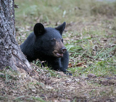 Photograph - Black Bear Resting by Tyson and Kathy Smith