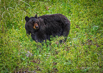 Photograph - Black Bear by Robert Bales