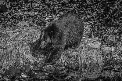 Black Bear Salmon Seeker Art Print