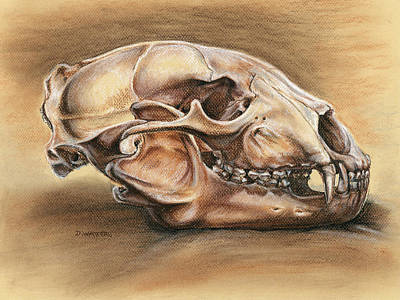 Black Bear Skull Art Print by Darlene Watters