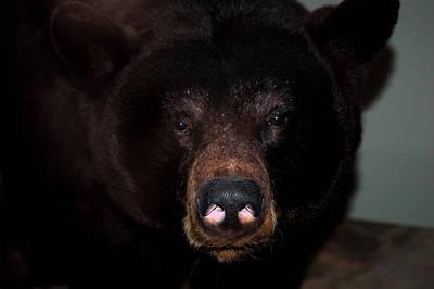 Photograph - Black Bear Sniff by LeeAnn McLaneGoetz McLaneGoetzStudioLLCcom