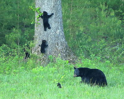 Photograph - Black Bear Sow And Four Cubs by Coby Cooper