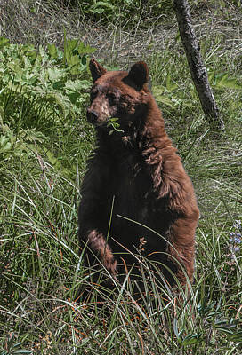 Photograph - Black Bear Sow Sequoia National Park by NaturesPix