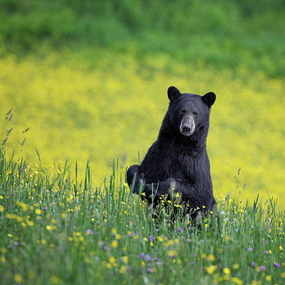 Yellow Flower Photograph - Black Bear Square by Bill Wakeley