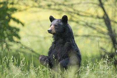 Photograph - Black Bear Standing Tall by Dan Friend