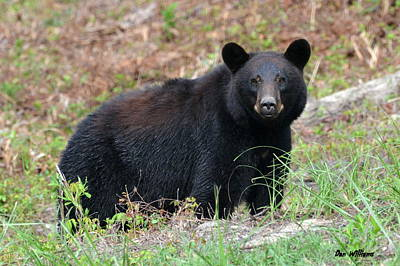 Photograph - Black Bear Stare.... by Dan Williams