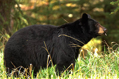 Photograph - Black Bear Toothpick by Adam Jewell