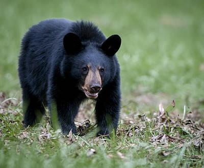 Photograph - Black Bear by Tyson and Kathy Smith