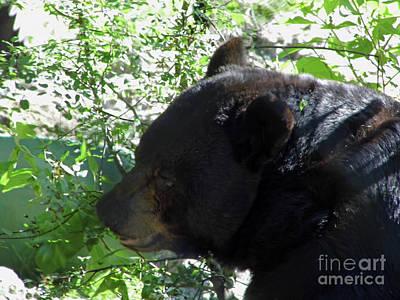 Photograph - Black Bear Up Close by D Hackett