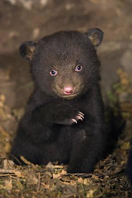 Black Bear Ursus Americanus 7 Week Old Art Print