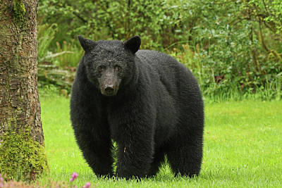 Photograph - Black Bear Visitor by Inge Riis McDonald