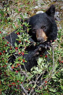 Photograph - Black Bear Vs Buffaloberries 1 by David Beebe