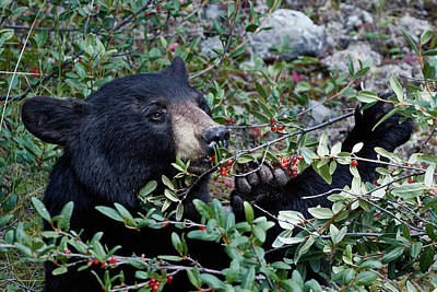 Photograph - Black Bear Vs Buffaloberries 2 by David Beebe