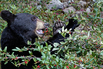 Photograph - Black Bear Vs Buffaloberries 3 by David Beebe