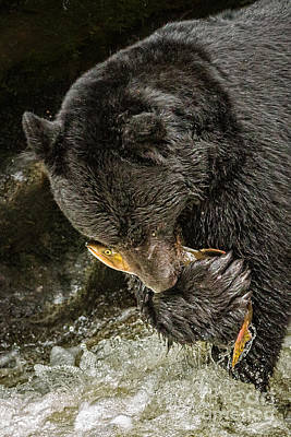 Photograph - Black Bear With Salmon by Alice Cahill